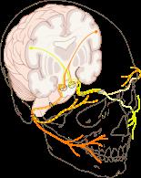 424px-Cranial_nerve_VII.svg